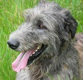 Not Clodah, just a better pose of an Irish Wolfhound